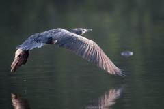 Indisk skarv / Indian Cormorant