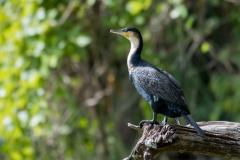 Skarv / Great Cormorant