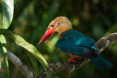 Indian Cormorant / Stork-billed Kingfisher