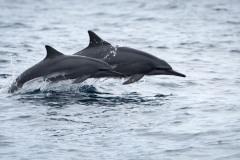 Langnæbbet delfin