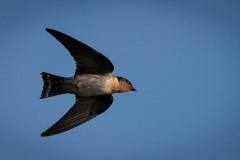 Stillehavssvale, Pacific swallow