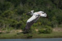 Hvid Pelikan / Great White Pelican