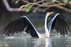Indisk slangehalsfugl / Darter