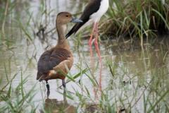 Lille Træand - Lesser whistling duck