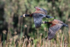Nonnetræand / White-Faced Whistling Duck