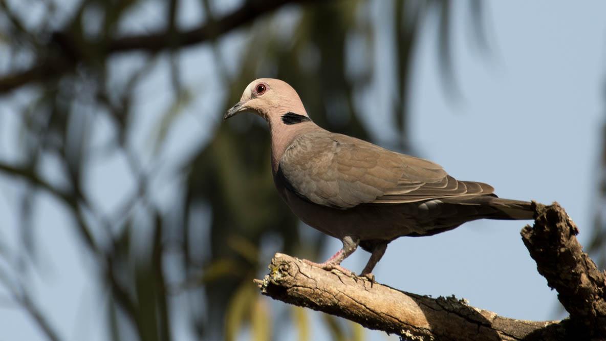 Rødøjet Skoggerdue / Red-eyed dove