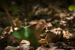 Grønvingetdue / Common Emerald Dove