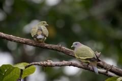 Rødhalset papegøjedue / Pink-necked Green Pigeon