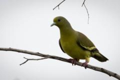 Indisk Papegøjedue / Pompadour Green Pigeon