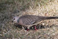 Perlehalsdue / Spotted Dove