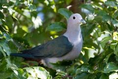Kejserdue / Green Imperial Pigeon