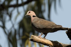 Rødøjet Skoggerdue / Red-eyed dove