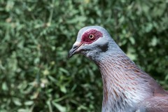 Guineadue / Speckled Pigeon