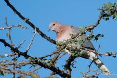 Palmedue / Laughing Dove