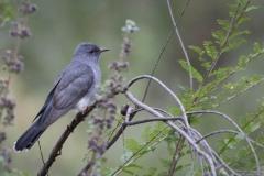 Drosselgøg / Gray-bellied Cuckoo ♀