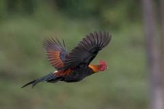 Bankivahøne / Red Junglefowl