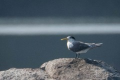 Bergiusterne / Greater Crested Tern