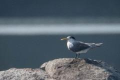 Bergiusterne / Greater Crested Tern