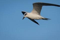 Hvidskægget Terne / Whiskered Tern