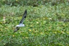 Hvidvinget Terne / White-winged Tern