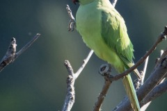 Alexanderparakit /  Rose-ringed Parakeet