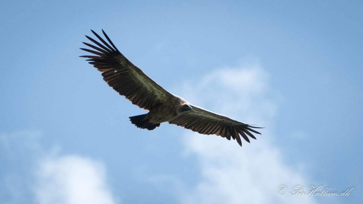 Hvidrygget grib / White-backed vulture