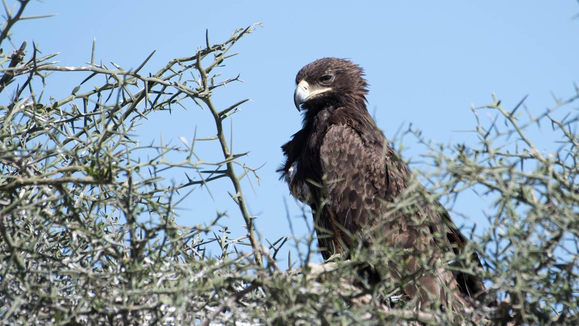 Afrikansk Rovørn /  African Tawny Eagle