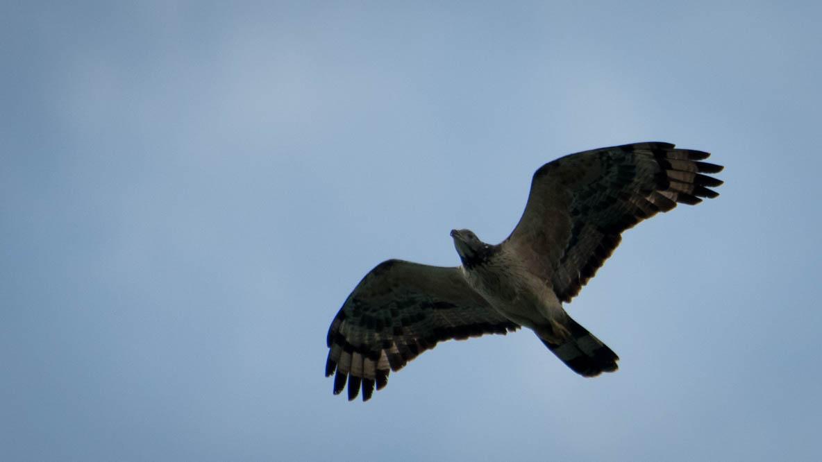 Østlig Hvebsevåge / Crested Honey buzzard