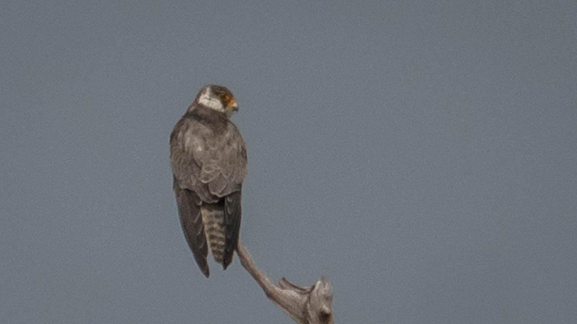 Amurfalk / Amur Falcon