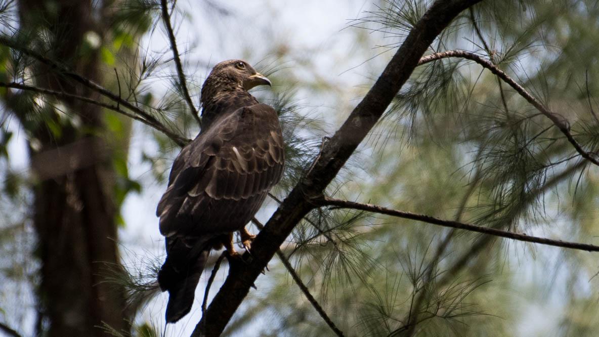 Østlig Hvepsevåge / Crested honey buzzard