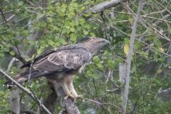 Lysbuget Høgeørn / Crested Hawk-Eagle