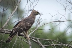 Lysbuget Høgeørn / Crested Hawk-Eagle