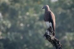 Stor gråhovedet havørn / Greyheaded fish eagle