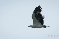 Hvidbrystet havørn / White-bellied sea eagle