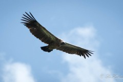 Hvidrygget grib / White-backed vulture