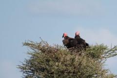 Øregrib / Nubian Vulture