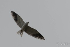 Blå Glente / Black-winged kite