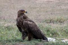 Steppeørn / Steppe Eagle