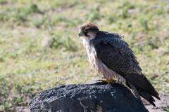 Lannerfalk / Lanner Falcon