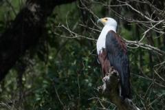 Afrikansk Flodørn / African Fish Eagle