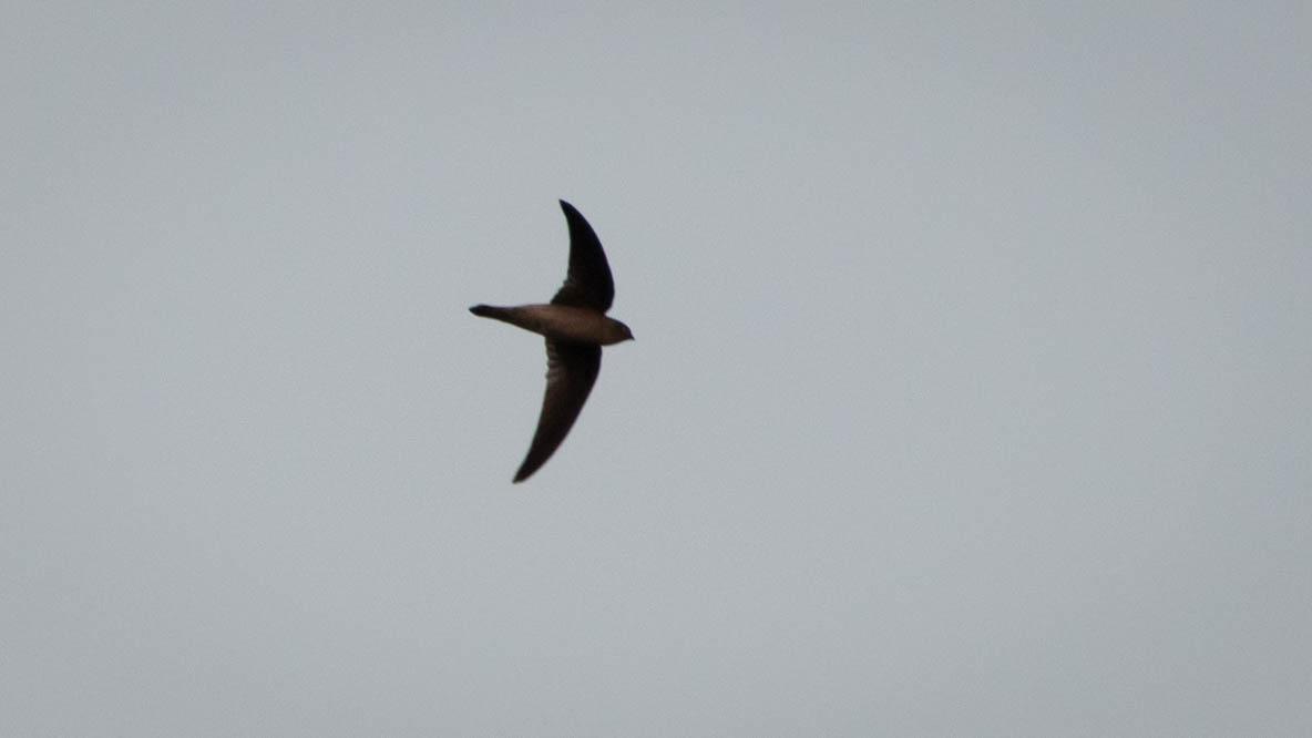 Mørkgumpet Sejler / Dark-rumped Swift
