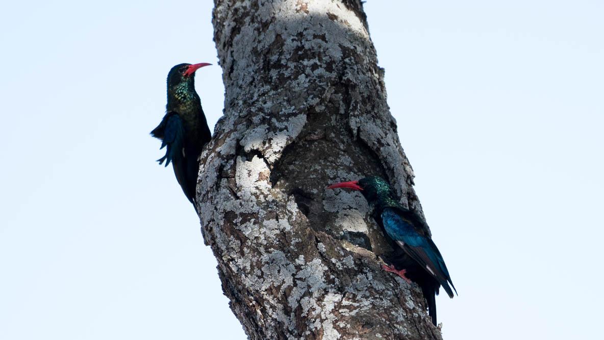 Purpurskovhærfugl / Green Wood Hoopoe