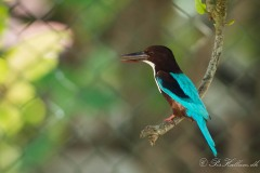 Smyrnaisfugl / White-throated Kingfisher