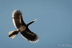 Broget Næsehornsfugl /  Oriental Pied Hornbill