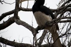 Rajahnæsehornsfugl /  Malabar pied hornbill