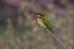 Blåhalet Biæder / Blue-tailed bee-eater