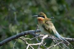 Blue-tailed bee-eater, Blåhalet Biæder