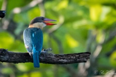 Blåvinget Storkenæbsisfugl /  Stork-billed Kingfisher