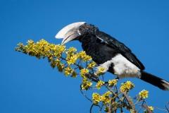 Gråkindet Hornfugl /   Black and white Casqued Hornbill