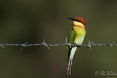Rustbiæder / Chestnut-headed Bee-eater
